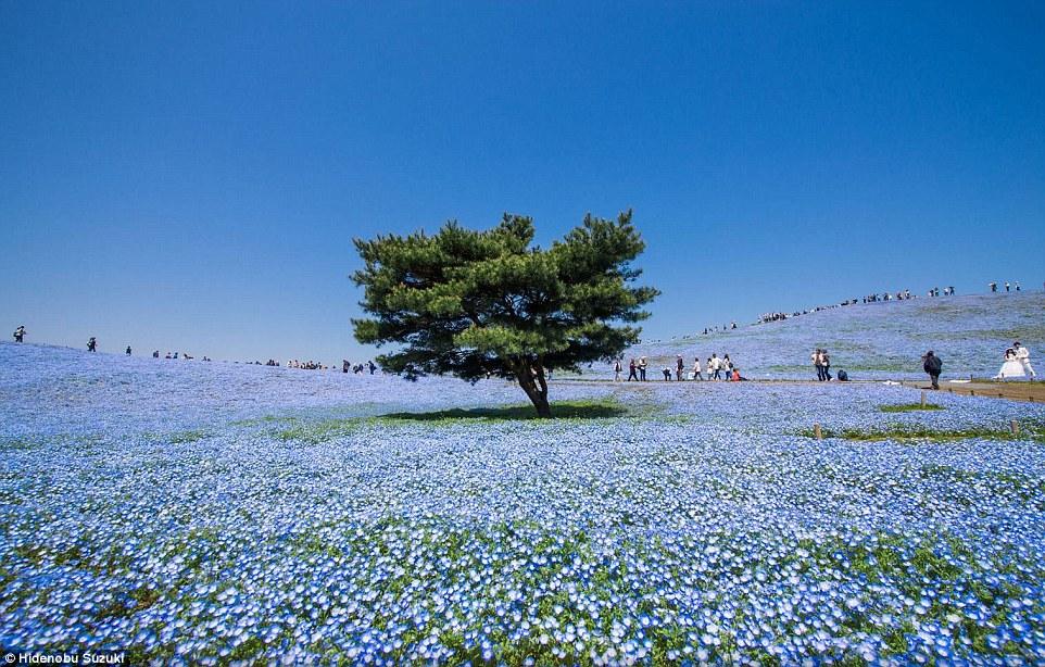 Dove il blu della terra, del cielo e dell'oceano si incontrano: Hitachi Seaside Park.